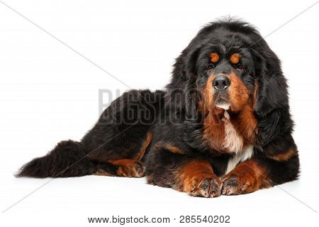 Tibetan Mastiff Dog Graceful Lying On A White Background