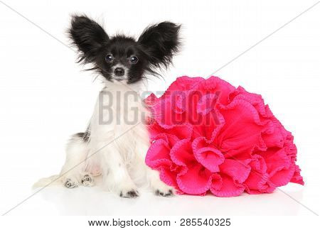 Continental Toy Spaniel Puppy With Red Flower On White Background. Baby Animal Theme