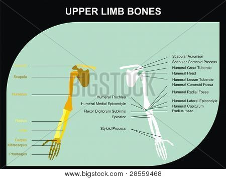 VECTOR - Upper Limb Bones of Human Body - All Major Bones (clavicle, scapula, humerus, clinic, radius, ulna, carpus, metacarpus, phalanges), and basic marks on the bones, for clinics & educational use