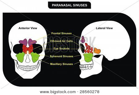 Paranasal Sinuses - parts included ( Frontal, Sphenoid, Maxillary Sinus, Ethmoid Air Cells and Eye Sockets ) - Anterior & Lateral View - Helpful for Medical Education & Clinics poster