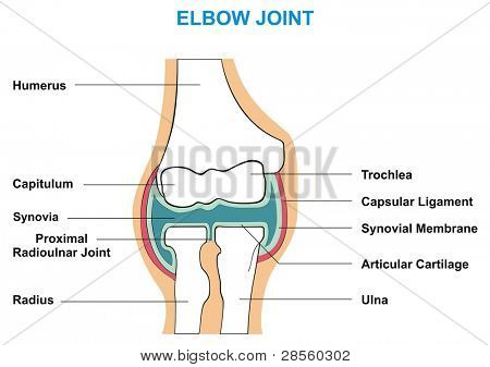 Elbow Joint Cross-Section - Showing the Major Parts which made the Elbow Joint (capsular ligament, articular cartilage, synovial membrane, synovia, capitulum, trochlea, humerus, radius, ulna)