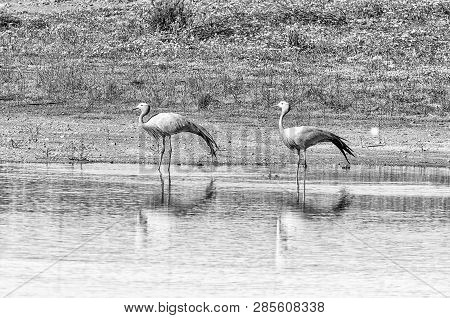 Two Blue Cranes At Matjiesfontein Near Nieuwoudtsville In The Northern Cape Province Of South Africa