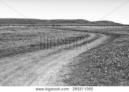 A Gravel Road In A Field Of Wildflowers At Matjiesfontein Near Nieuwoudtville In The Northern Cape P