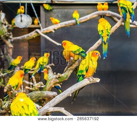 Aviculture, Colorful sun parakeets sitting on branches in the aviary, popular pets from America, Endangered bird specie poster