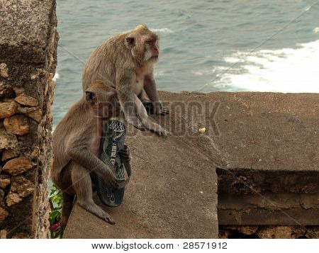 Monkeys with a stolen sleeper