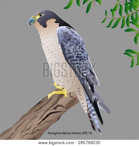 Realistic Peregrine Falcon Sitting On A Branch,  Isolated On Gray Background. Vector Illustration
