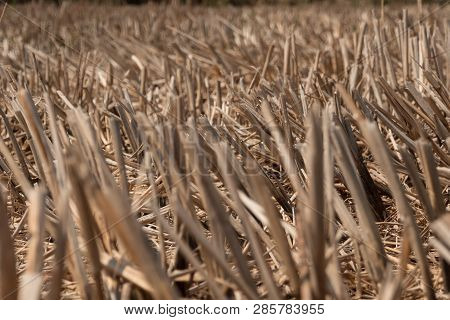 Dry Rice Stubble In Farmland After Harvest