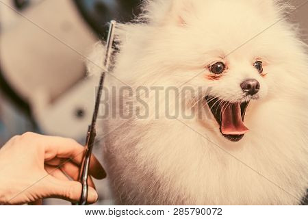 Female Groomer Haircut Pomeranian Dog On The Table For Grooming In The Beauty Salon For Dogs. Toned