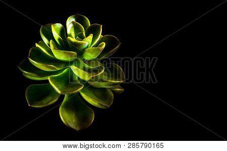 Succulent Plant Close-up, Freshness Leaves Of Echeveria Melaco In Tiny Light On Black Background, Hi