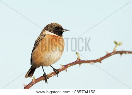 Close Up Of European Stonechat Perching On A Twig Against Clear Blue Background, Uk.