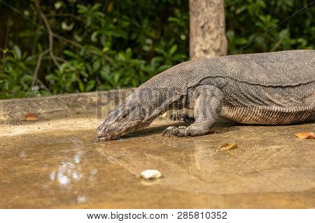Malayan Water Monitor Lizard, Varanus salvator, drinking water from a puddle on the road poster