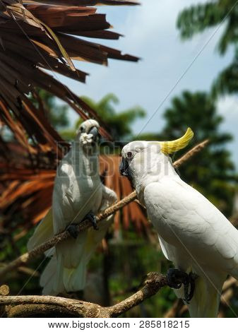 Yellow-crested Cockatoo Or Lesser Sulphur-crested Cockatoo Is Sitting On A Branch, Vertical Photo -