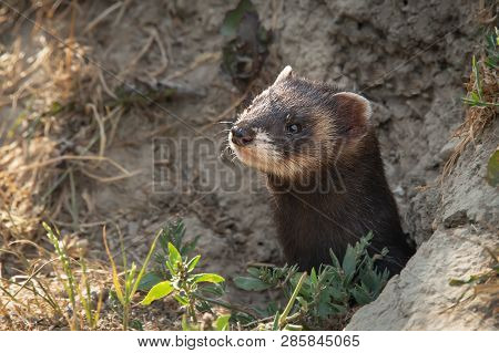 A Close Up Of The Head Of A Polecat As It Emerges From It Burrow In The Bank