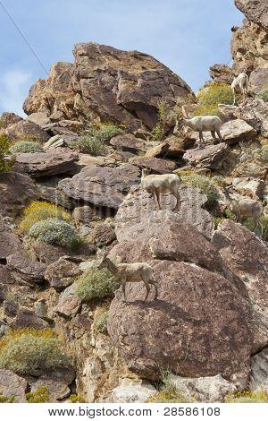 Desert Bighorn Sheeps In Anza Borrego Desert.