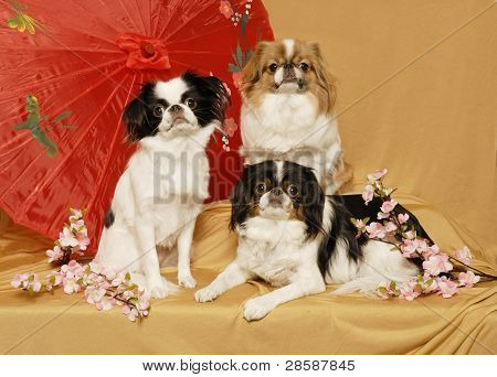 A trio of Japanese Chin dogs with an asian umbrella and cherry blossoms