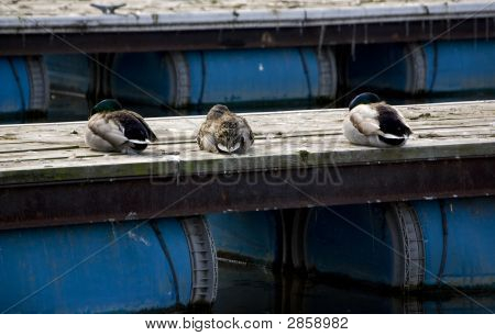 Napping Ducks
