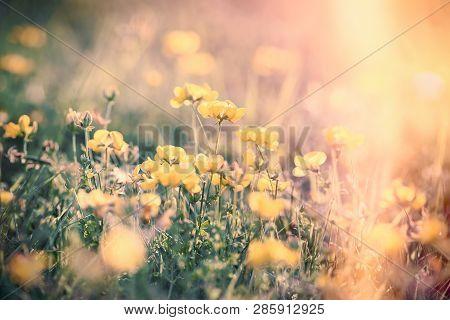 Flowering Yellow Buttercup In Meadow, Flowering Meadow In Spring