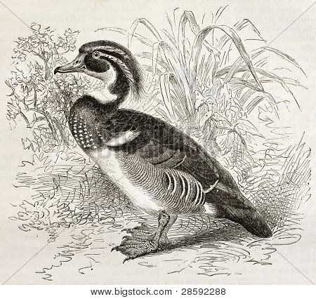 Wood Duck old illustration (Aix sponsa). Created by Kretschmer and Illner, published on Merveilles de la Nature, Bailliere et fils, Paris, ca. 1878