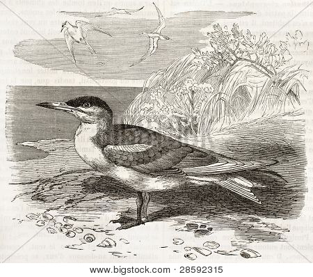Caspian Tern old illustration (Hydroprogne caspia). Created by Kretschmer, published on Merveilles de la Nature, Bailliere et fils, Paris, ca. 1878
