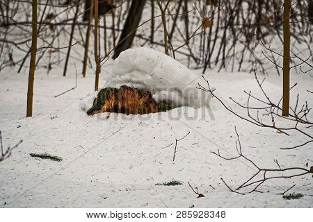 Old Mossy Stump Under The Snow. February. Pavlovsk. Park.