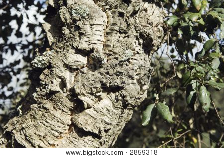 Virgin Cork Tree Bark Detail (Quercus Suber)