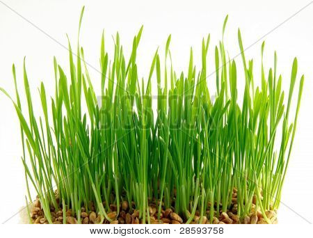 wheat seeds and germination