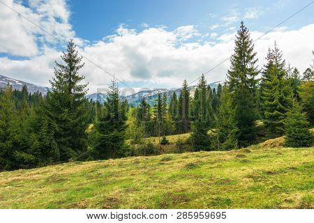 Spruce Forest On The Hill In Springtime. Row Of Evergreens On The Grassy Meadow. Distant Ridge With