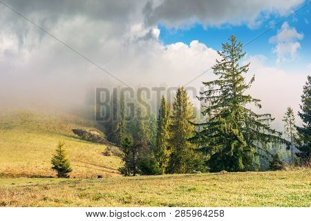 Coniferous Forest On The Hillside In Fog. Row Of Evergreens On The Hill With Weathered Grass. Beauti