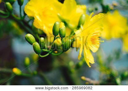 Yellow Apricot Blossom (ochna Integerrima) Blooming | Mai Blossom In Vietnam Tet Holiday