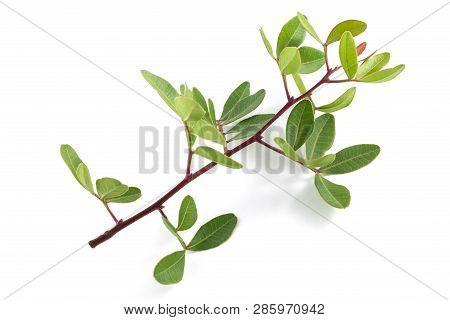 Mastic Tree Sprig Isolated On White Background