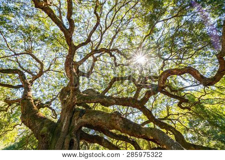 Angel Oak Live Oak Tree In Johns Island, Charleston, South Carolina