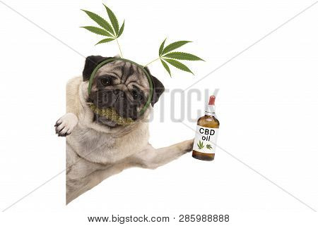 Cute Smiling Pug Puppy Dog Holding Up Bottle Of Cbd Oil, Wearing Marijuana Hemp Leaf Diadem, Chewing