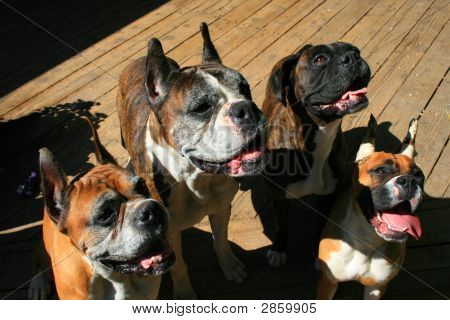 Four Boxer Dogs Looking Up
