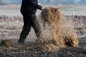 Man working on the field carrying the straw for covering the ground using pitchfork to keep the fertile soil moist and weed-free. Agriculture, farming, organic gardening and sustainability concepts, poster