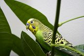 Macro close-up of classic green parakeet between leafs of rubber plant poster