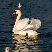 swan floating in sailing wings formation on lake poster