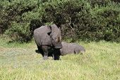 a female rhino with her calf drinking in a game park in south africa poster