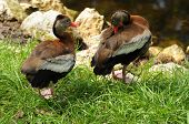 Pair of black belly Whistling Ducks frolicking in the grass during breeding season. poster