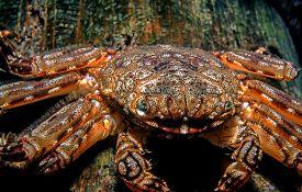 Clinging Crab At Night Under Pier Feeding