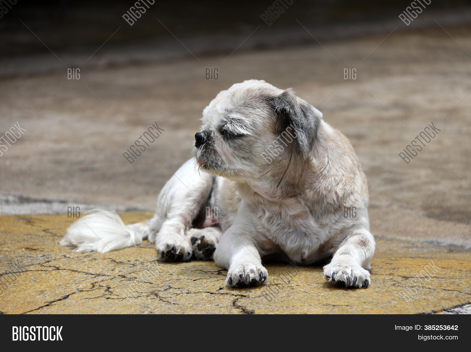 Shih Tzu Dog Short Image Photo Free Trial Bigstock