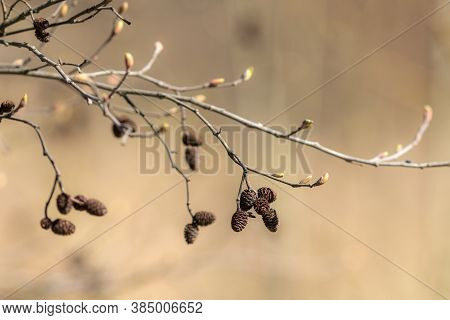 Alder Branch With Buds In Spring Close Up