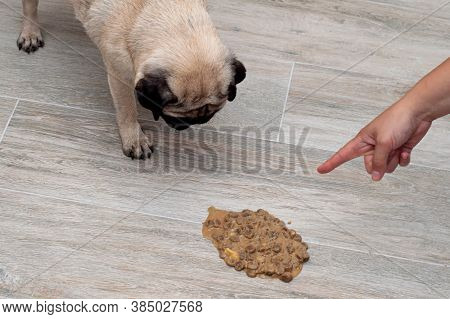 Dog Pug Vomit In The Living Room On The Floor, Sick Dog Vomitted To Cure Itself