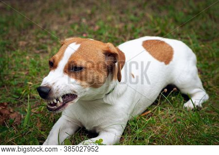 Enraged Aggressive, Angry Dog. Grinning Jack Russell With A Bared Fangs.
