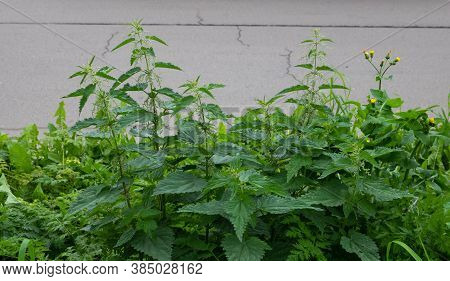 Fresh Nettle Leaves. Thickets Of Nettles. Medicinal Plant. Green Leaves Background