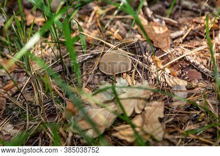 A Small Light Suillus Bovinus Jersey Cow Mushroom Bovine Bolete Close-up Grows In The Grass In Dry C