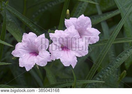 Britton's Wild Petunia (ruellia Simplex). Called Mexican Petunia And Mexican Bluebell Also. Synonym: