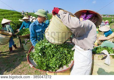 MocChau Highland, Son la Province, Vietnam Otc 25, 2015: Farmers collecting tea leaves on terrace gr