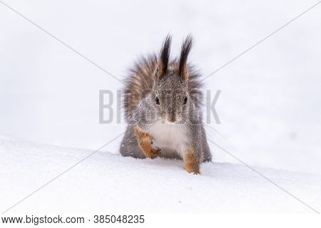 The Squirrel Funny Sits On Pure White Snow. Portrait Of A Squirrel. Eurasian Red Squirrel, Sciurus V