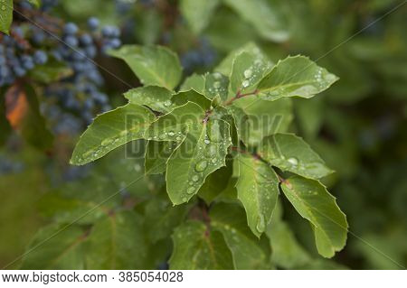 Dew And Rain Drops On The Leaves Of A Bush With Blue Berries In A City Park.