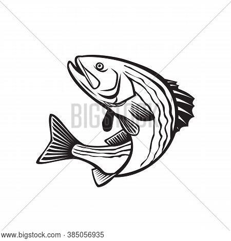 Retro Style Illustration Of A Striped Bass, Morone Saxatilis, Atlantic Striped Bass, Striper, Linesi